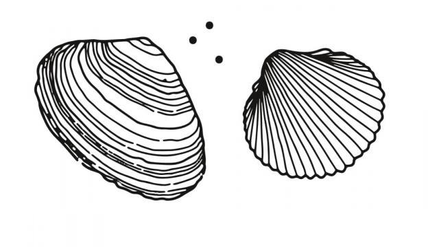 Coques et palourdes, les espèces à pêcher à Coutances mer et bocage
