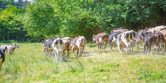 Vaches dans le bocage Coutançais