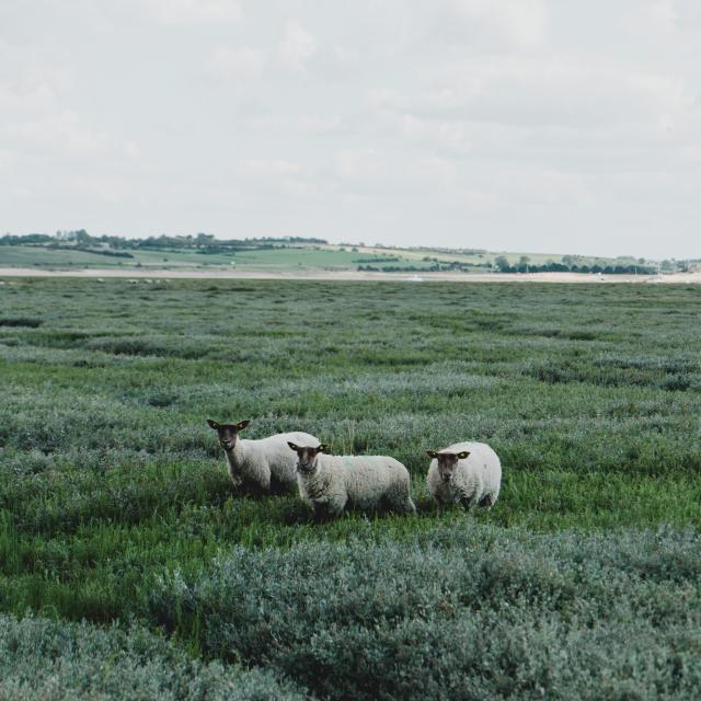 Moutons de prés salés à la pointe d'Agon
