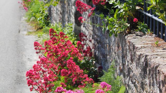 Roses trémières à Agon-coutainville