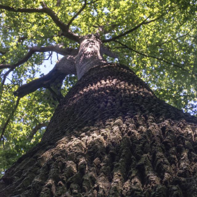 Forêt de Compiègne _ Arbre en Forêt de Compiègne © CRTC Hauts-de-France - Nicolas Bryant