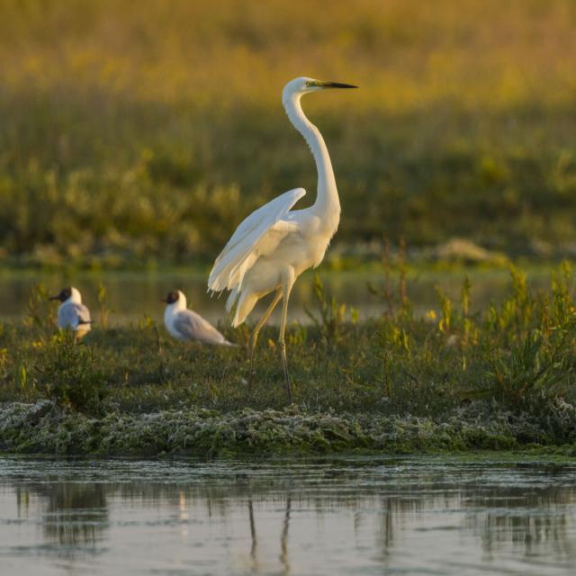 Baie de Somme_Les oiseaux au marais du Crotoy_Grande aigrette© CRTC Hauts-de-France – Stephane Bouilland