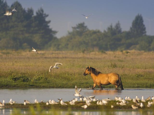 Baie de Somme_henson dans le marais du Crotoy©CRTC Hauts-de-France -Stéphane Bouilland