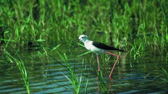 Camargue Echasseblanche Paca Emmanuelvialet Parc Naturel Regional Camargue 1
