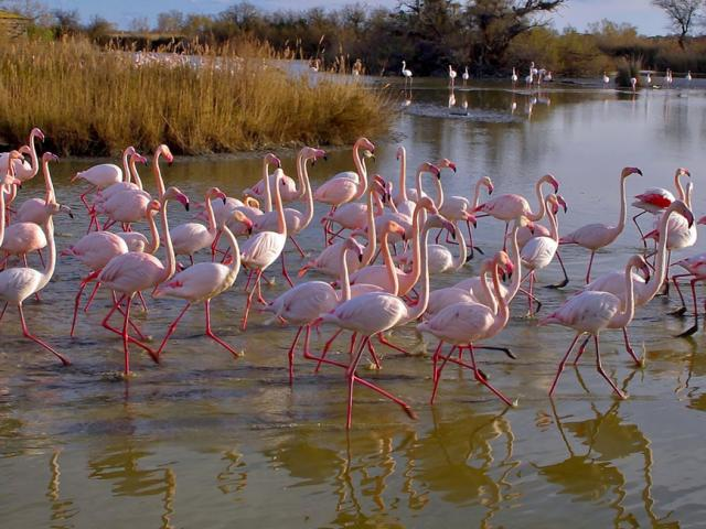 Flamants Roses Camargue Provencea Mouton