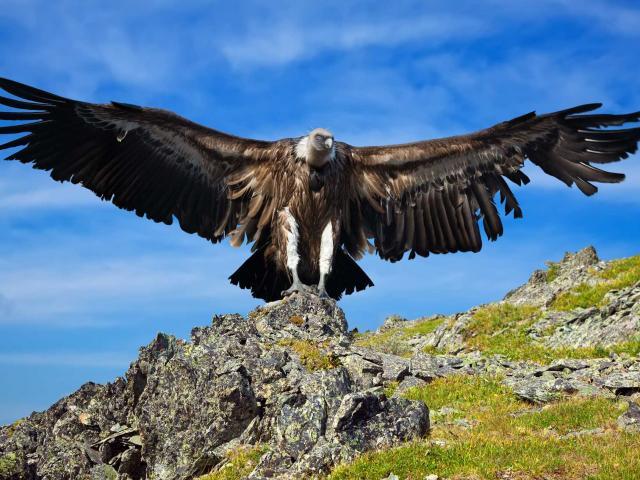 fotolia-224582968-vautour-paca-1-1.jpg