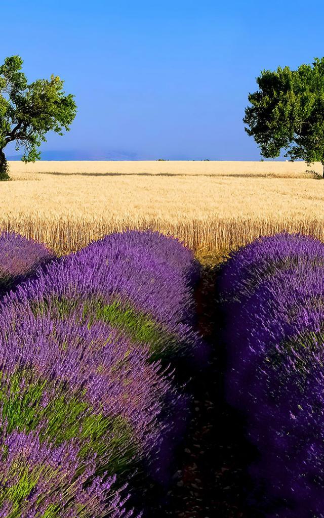 Lavande Ble Provence Amouton