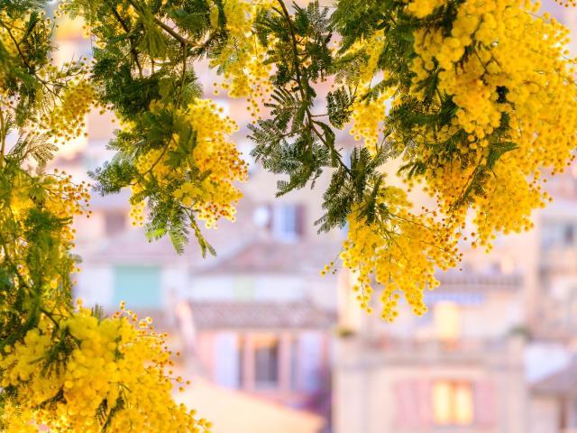 Mimosa Bormeslesmimosas Provence F201416209