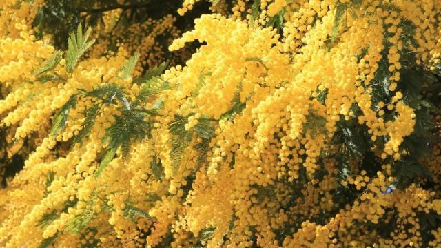 mimosa-crt-paca-2016-15474-1.jpg