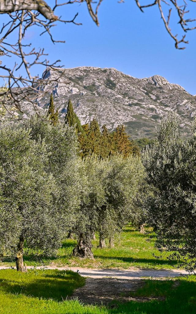 olivier-alpilles-provence-pmagoni-1.jpg