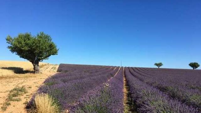 Plateau De Valensole Marchand 1 1