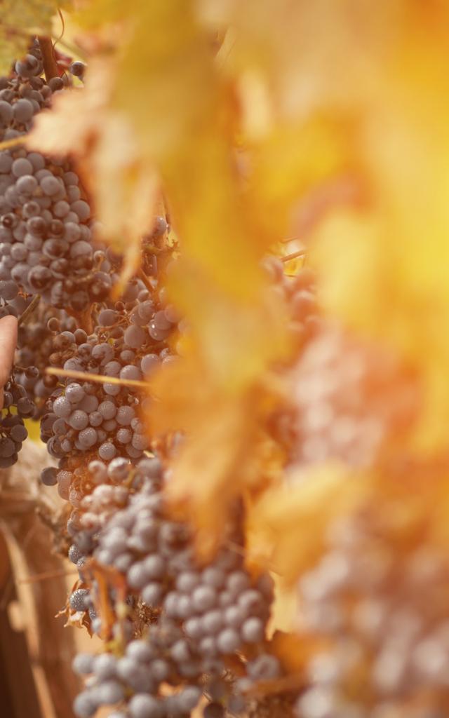 Farmer Inspecting His Wine Grapes In Vineyard