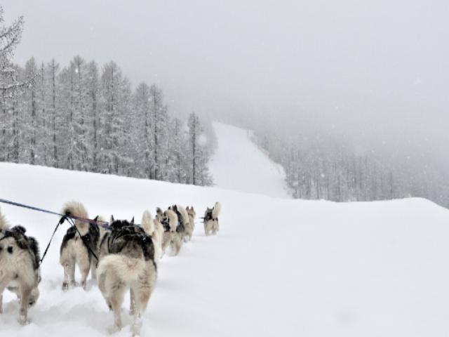 Chiens De Traineau Crevoux Alpes Mdi Duca 3
