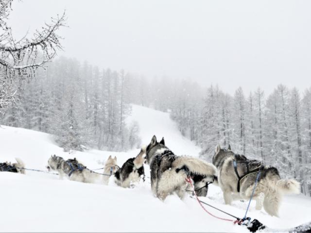 Chiens De Traineau Crevoux Alpes Mdi Duca 5