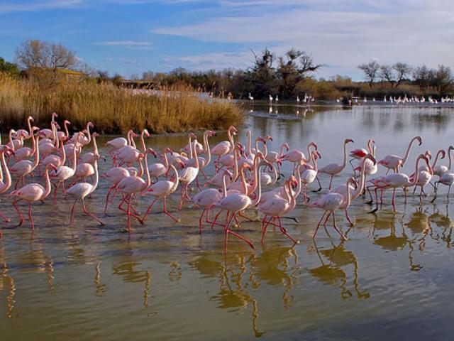 Flamants Roses Camargue Amouton