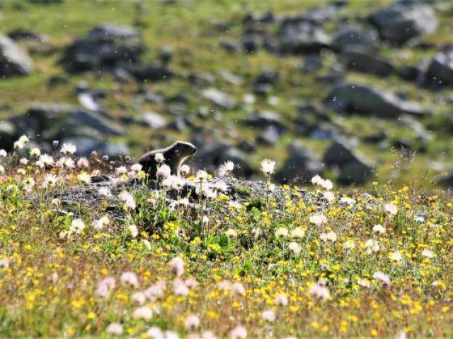 Marmotte Christophe Amblard Pnrq