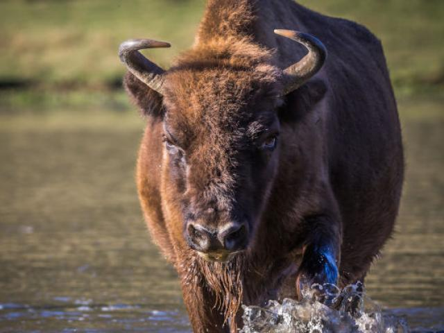 Reservemontsdazur Thorenc Bison Alpes 2