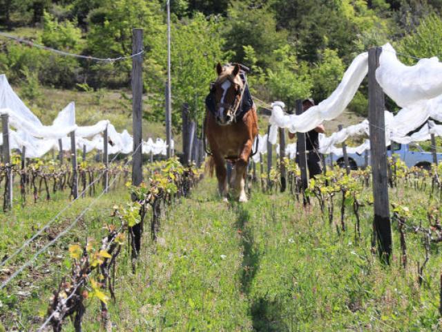 Vigne Alpes Maxime Aerts