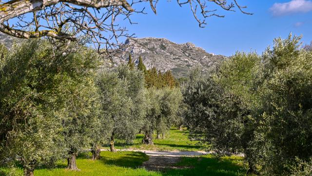 olivier-alpilles-provence-pmagoni.jpg