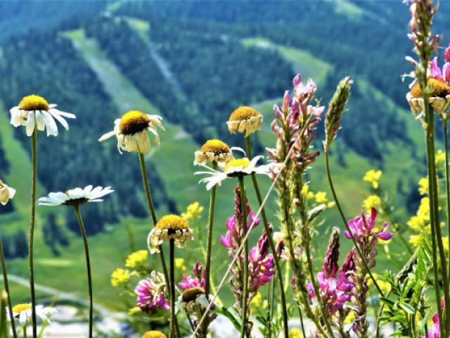 Fleurs Ristolas Alpes Mdiduca