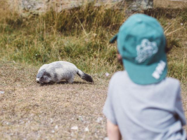 Marmotte Cervieres Alpes Tgiacometti