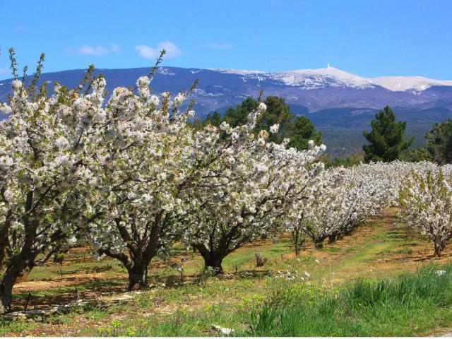 Cerisiers Mont Ventoux A.hocquel Vpa
