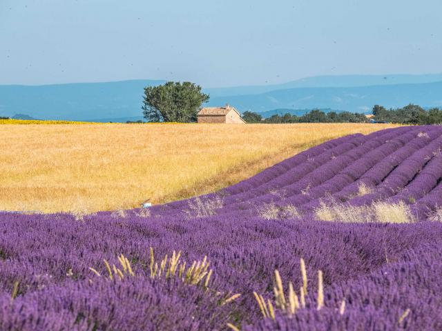 Champs Lavande Valensole Provence Ad04 Tverneuil
