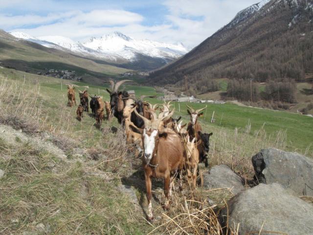 Troupeau de chèvres du Queyras