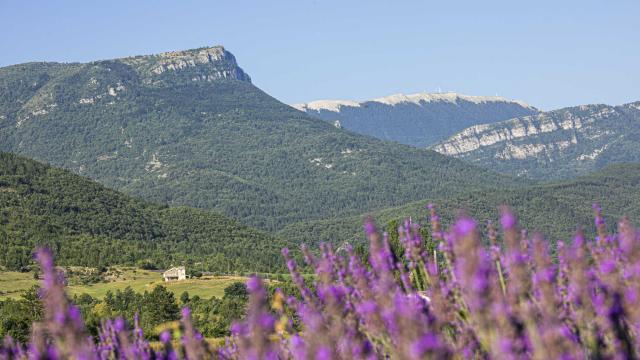 Champs de lavandes et Montagne de Lure