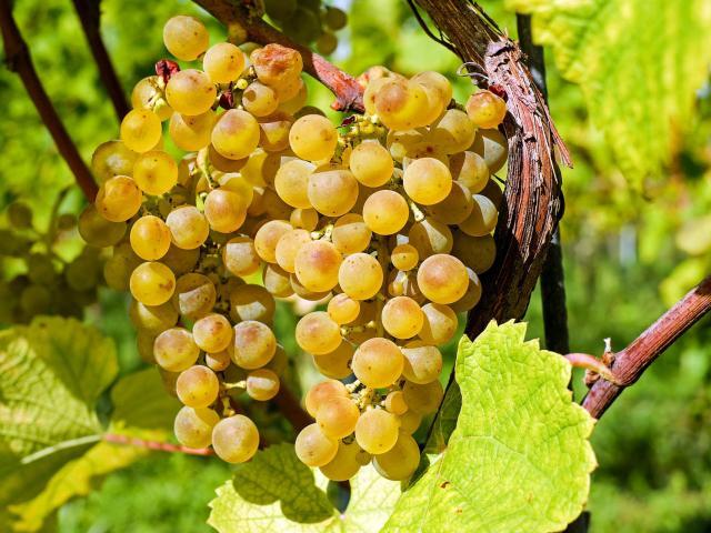 Grapes-Vignes