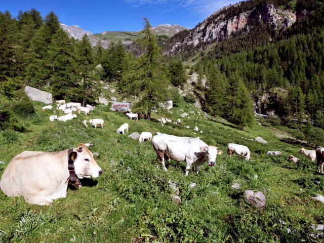 Vallée des Merveilles, troupeau de vaches piémontaises