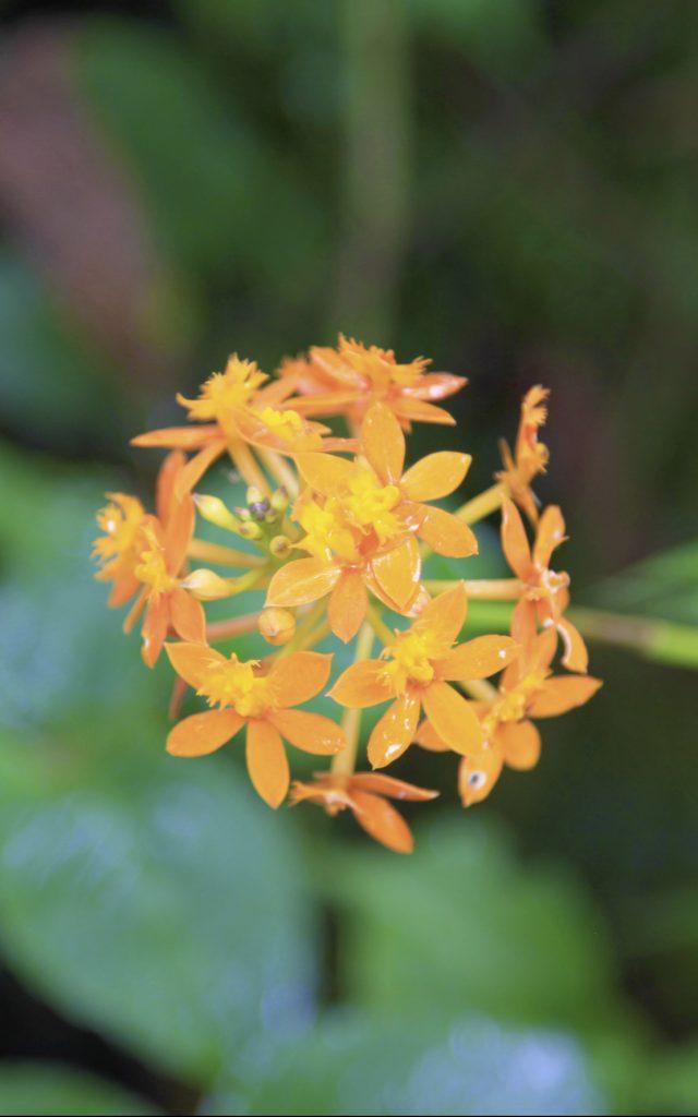 Fleurs Orchidees, La Réunion