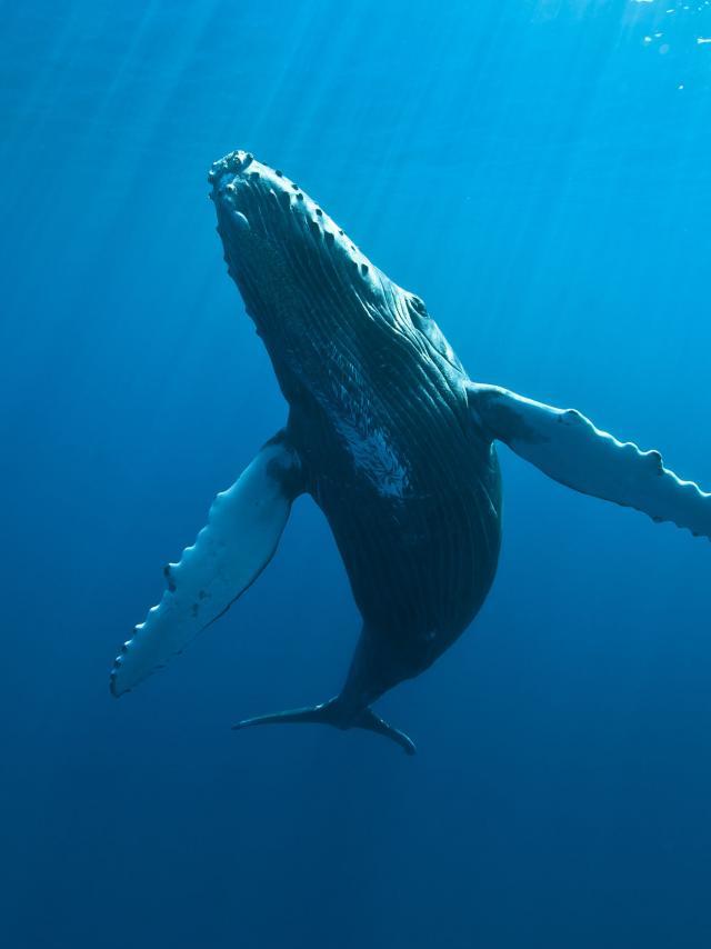 Baleines, La Réunion