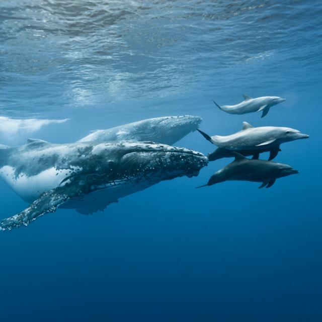 Mammifères marins, La Réunion