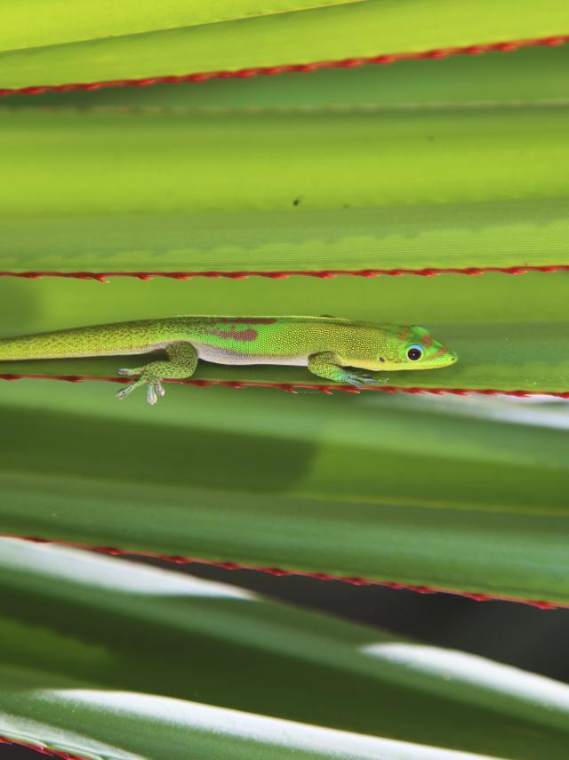 faune_terrestre21_gecko_-_credit_irt_-_emmanuel_virin.jpg