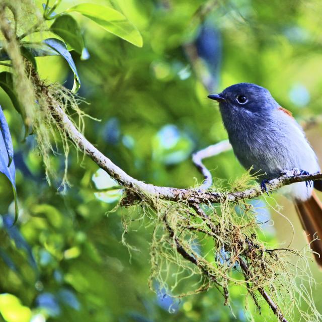 Oiseau la vierge