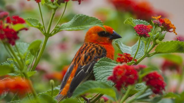 Cardinal de madagascar