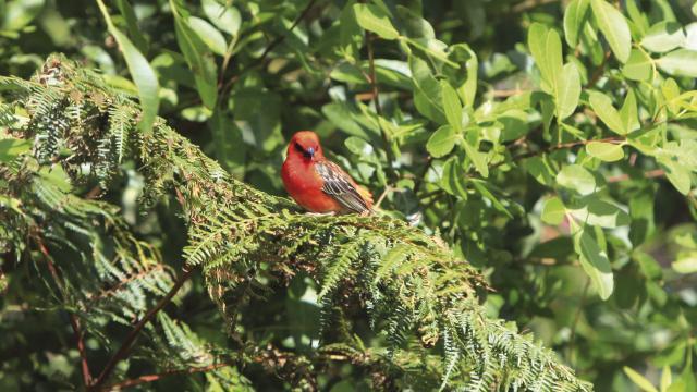 Cardinal rouge, La Réunion