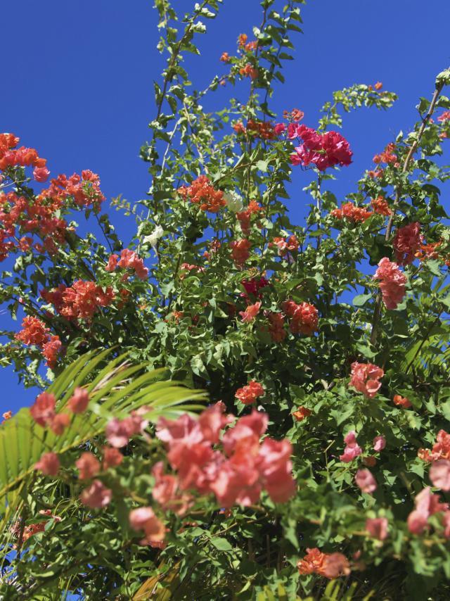 fleurs24_bougainvilliers_-_credit_irt_-_emmanuel_virin_1.jpg