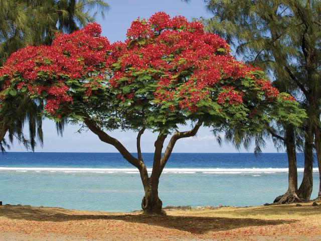 Flamboyant de La Réunion
