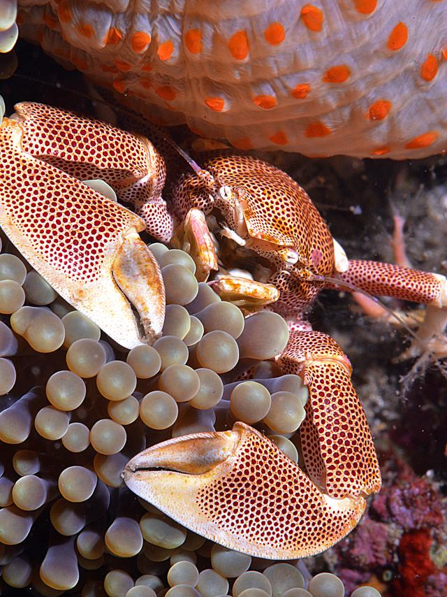 fonds_marins16_crabe_porcelaine_anemone_-_credit_irt_-_antoine_mettra_dts_12_2015.jpg