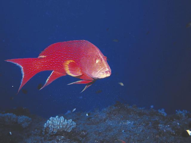 Poisson rouge, La Réunion
