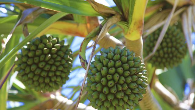 fruits04pinpinstphilippe-creditirt-emmanuelvirin.jpg