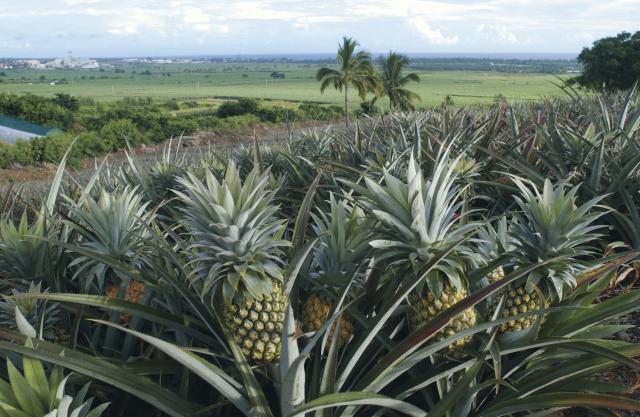 champs d'ananas, La Réunion
