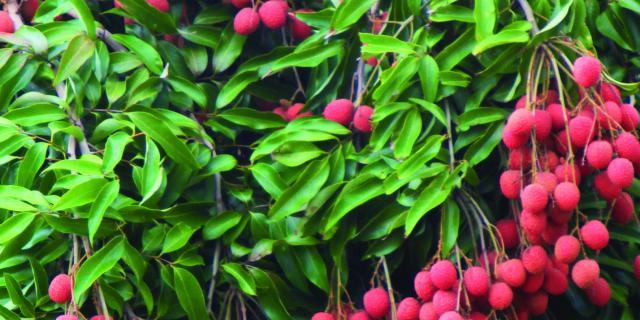 fruits22_letchis_-_credit_irt_-_emmanuel_virin.jpg