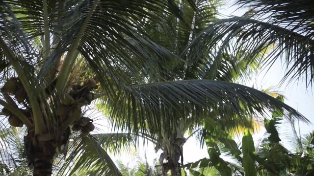 Cocotiers, île de La Réunion