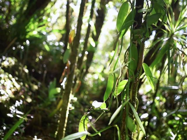 Vanille Bourbon, La Réunion, Trapèze des Mascareignes