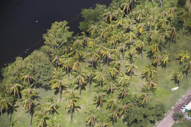 Cocotiers, La Réunion