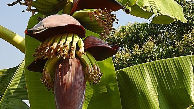 banana-flower-174661-640.jpg