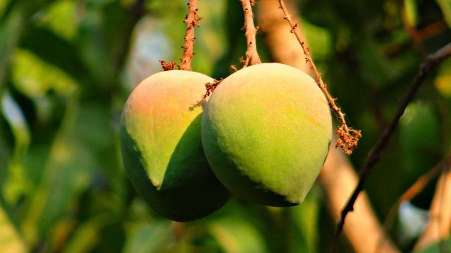 Mangue, La Réunion
